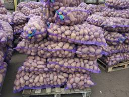 Картофель оптом из Беларуси. - фото 5
