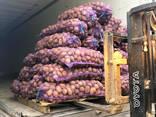Картофель оптом из Беларуси (Export) - фото 2