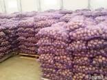 Картофель Оптом от Производителя - фото 1