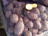Картофель (25кг) - фото 2
