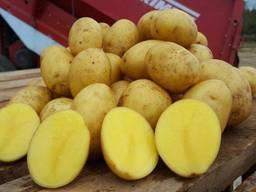 "Картофель сорт ""Янка"" оптом"