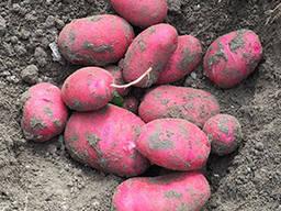 Картофель Торнадо 1 репродукция сетка 5кг.