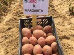 Картопля насіннєва. Маргарита. Agroplant