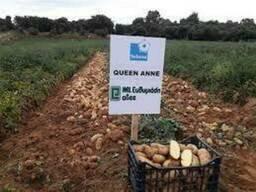 Картопля посадкова. Королева Анна. 20кг