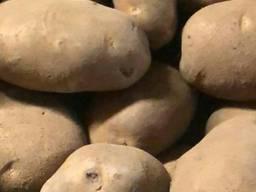 Картошка (Нидерланды), картофель, ОПТ от 5 т.