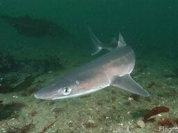 Катран - черноморская акула, целая, не потрошеная