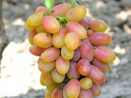 столовая форма винограда Катруся Каховская