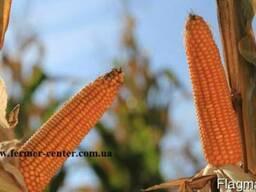 Кинесс купить кукурузу, Кинесс цена