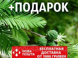 Кипарис болотный семена (20 шт) таксодиум двурядный. ..