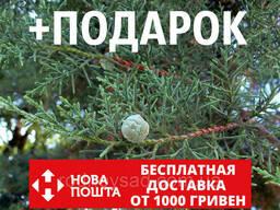 Кипарис мексиканский семена (50 шт) (Кипарис лузитанский. ..