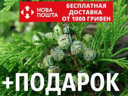 Кипарисовик горохоплодный семена (50 шт) (Chamaecýparis. ..