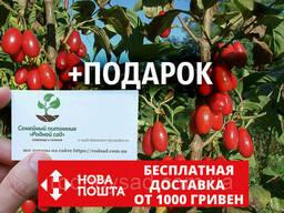 Кизил красный семена (10 штук) для саженцев Córnus mas. ..