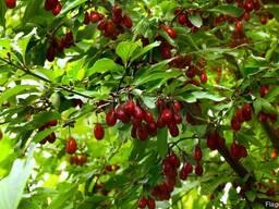 Кизил красный семена (10 штук) для выращивания саженцев - фото 4