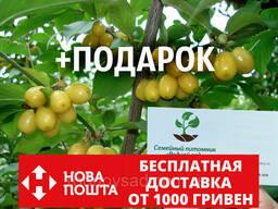 Кизил жёлтый семена (10 штук) Córnus mas для саженцев. ..