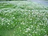 Клевер белый ползучий, семена - фото 1