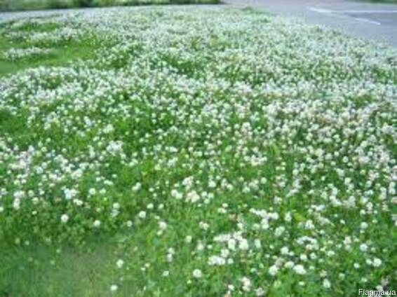Клевер белый ползучий, семена