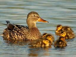 "Комбикорм ""старт"" для водоплавающей птицы 1-21 день, крупка"