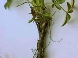 Корень лапчатки, корень валерианы,корень лопуха, ,дягиля
