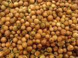 Coriander corn buy in Ukraine - photo 1