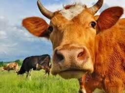 Корма для дійних корів в Україні