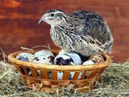 Хозяйство реализует: Яйца - Скорлупа !!! Полезна всей сетке животных и птиц !!!