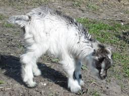 Козлята ламанча 1 місяць, козочки, козлик