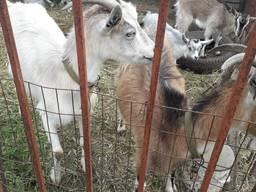 Козы и козлята