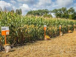 Крабас от КВС ФАО 300. Семена кукурузы