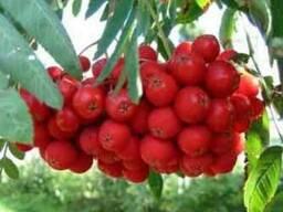 Красная рябина 100 грамм