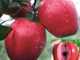 Красномясые сорта Яблонь. Саженцы