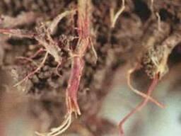 Красный корень, копеечник альпийский корень