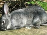 Кролі мясних порід - фото 1