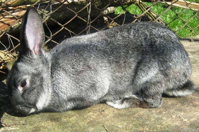 Кролі мясних порід