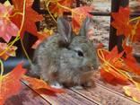 Кролик декоративный. Ручные малыши крольчата. Лучший питомец для деток и не только. - фото 3