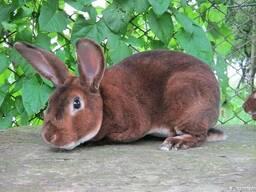Рекси кролі