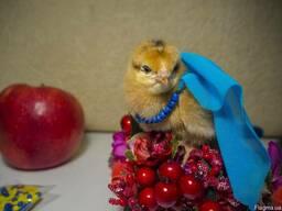 Круглогодично бройлеры, цыплята