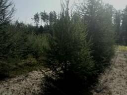 Крупномер лиственница 4 метра