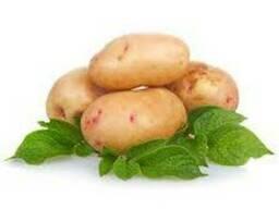 Крупным оптом закуплю картошку