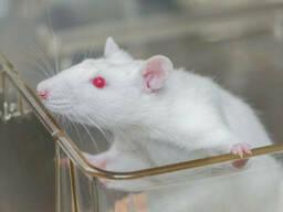 Крысы подрощенные кормовые замороженные.