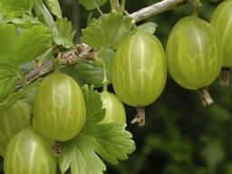 Крыжовник сорт Хиннонмаки Грин (зеленый), полуупакованный