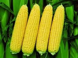 Кукурудза цукрова в початках,2021