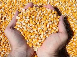 Кукуруза фуражная экспорт минимум 100 000 т/мес