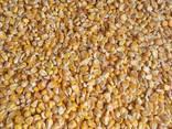 Кукуруза фуражная купить оптом - фото 1