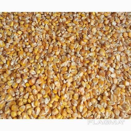 Кукуруза фуражная купить оптом