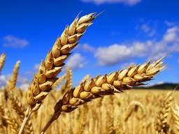 Пшеница, кукуруза, соя, семечка, кориандр, овес. На Экспорт