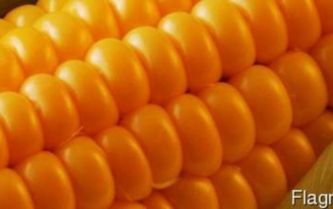 Купим кремнистую кукурузу