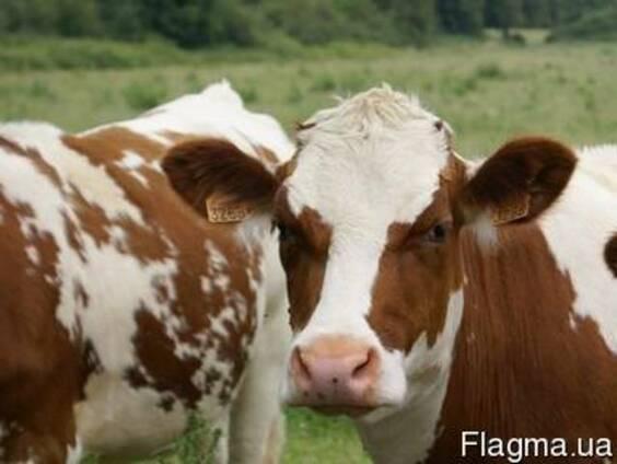 Купим телят и бычков