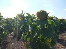 Семена подсолнуха Аракар (евролайтинг)