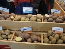 Купить семенной картофель Ривьера, Бела Роса и др. почтой