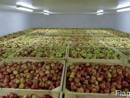 Купить Яблоки оптом, Польша, Белоруссия, Росиия